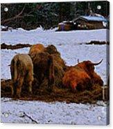 Scottish Highland Cattle Acrylic Print