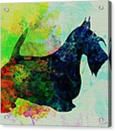 Scottish Terrier Watercolor Acrylic Print by Naxart Studio