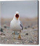 Screaming Seagull Acrylic Print