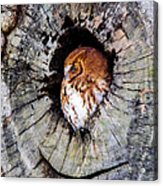 Screech Owl 02 Acrylic Print