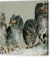 Screech Owl Chicks Acrylic Print
