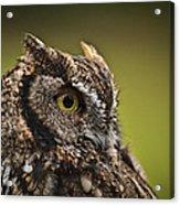 Screech Owl 1 Acrylic Print