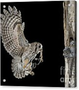 Screech Owl Feeding Owlets Acrylic Print