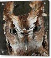 Screech Owl Portrait Acrylic Print