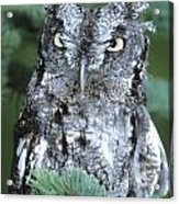 Screech Owl Straight On Acrylic Print