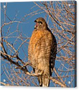 Screeching Red-shouldered Hawk Acrylic Print