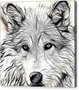 Scrimshaw Grey Wolf Acrylic Print