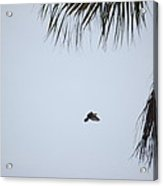 Scrub Jay In-flight Acrylic Print