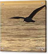 Sea Bird In Flight Acrylic Print by Paul Topp