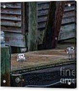 Sea Birds Dockside Acrylic Print