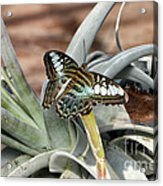 Sea Blue Butterfly Two Acrylic Print