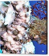 Sea Cucumbers 1 Acrylic Print