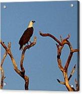 Sea-eagle And The Peewee Acrylic Print
