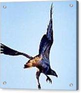Sea Eagle Flight Acrylic Print
