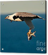 Sea Eagle With Catch Acrylic Print