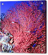 Sea Fans1 Acrylic Print