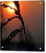 Sea Grass In The Sun Acrylic Print