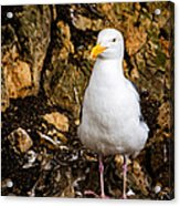 Sea Gull Acrylic Print