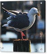 Sea Gull On Break Acrylic Print