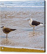 Sea Gull Pair Acrylic Print