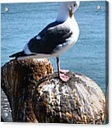 Sea Gull  Acrylic Print