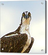Sea Hawk Acrylic Print