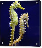 Sea Horse Acrylic Print by Boon Mee