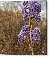 Sea Lavender In La Jolla Acrylic Print