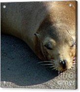 Sea Lion-00178 Acrylic Print