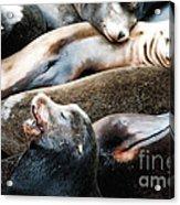 Sea Lion Dreams Acrylic Print