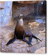 Sea Lion Acrylic Print