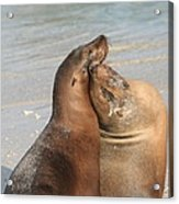 Sea Lions In Love Acrylic Print