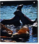Sea Lions In San Francisco Bay Acrylic Print by Aidan Moran