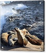 Sea Lions Seek Shelter Acrylic Print