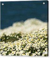 Sea Mayweed And The Sea Acrylic Print
