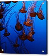 Sea Nettle Jelly Fish 5d24939 Acrylic Print by Wingsdomain Art and Photography