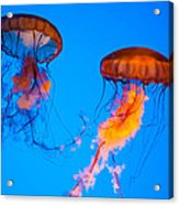 Sea Nettles Acrylic Print by Anthony Sacco