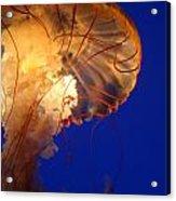 Sea Nettles V 2 Acrylic Print