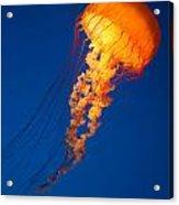 Sea Nettles V 8 Acrylic Print