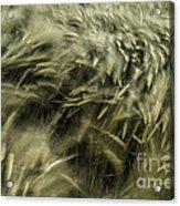Sea Of Barley  Acrylic Print