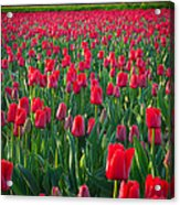 Sea Of Red Tulips Acrylic Print by Inge Johnsson