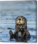 Sea otter (Enhydra lutris) Acrylic Print