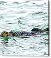 Sea Otter In Northern Cali Acrylic Print by Rebecca Adams