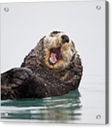 Sea Otter Scratching Head And Yawning Acrylic Print