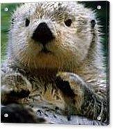 Sea Otter Swimming At Tacoma Zoo Captive Acrylic Print