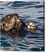 Sea Otter With Clam 2 Acrylic Print