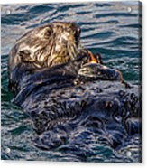 Sea Otter With Clam Acrylic Print