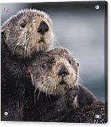 Sea Otters Huddled Together Acrylic Print