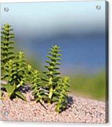 Sea Sandwort Acrylic Print