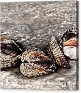 Sea Shells 2 Acrylic Print